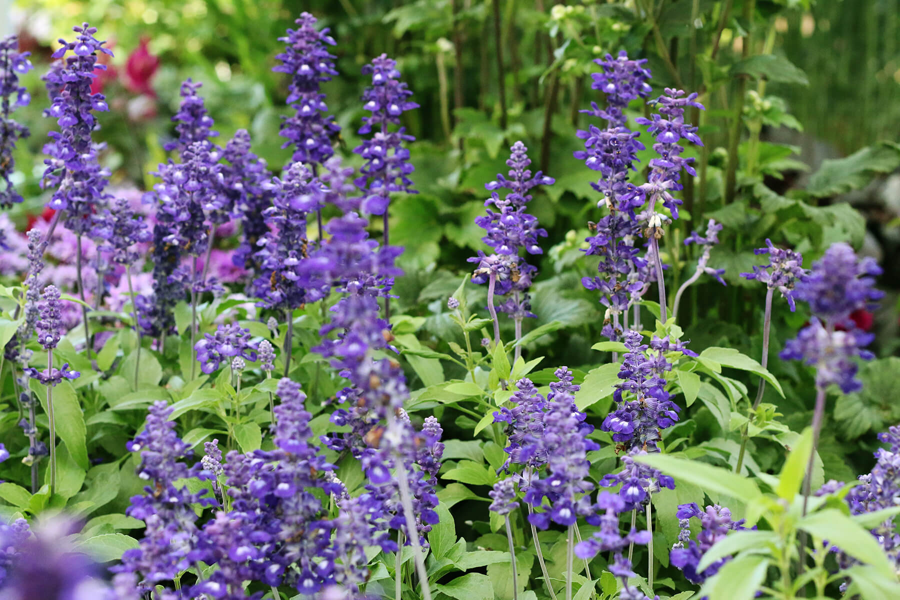 Stor daggsalvia är årets sommarblomma 2016. Den är inte bara vackert blå, den är dessutom lättskött och blommar oavbrutet. Doften är underbar och är älskad av både fjärilar och bin. Av juryn valdes den till Årets sommarblomma för sin ståtlighet, långa blomningstid och tålighet.