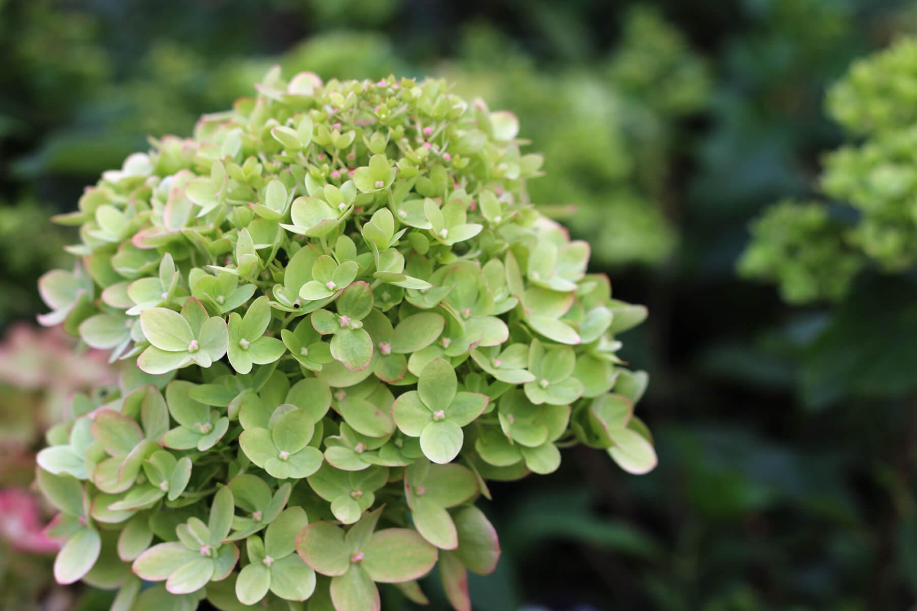 Årets höstfröjd 2020 är vipphortensia. Hydrangea paniculata. Med sina många blommor samlade i stora vippor är den fin i vilken trädgård som helst. Romantiskt, strikt och modernt eller en plantering med mer vildvuxen karaktär. Vipphortensia är en omtyckt klassiker i svenska trädgårdar. En lättodlad växt med lång blomningstid.