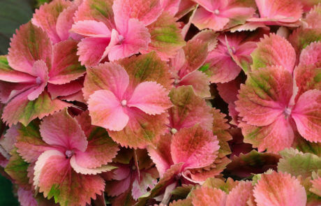 Närbild på hortensians stora blomboll. Denna växt finns i ett oräkneligt antal varianter och nyanser. Just den här är rosa med gröna inslag.