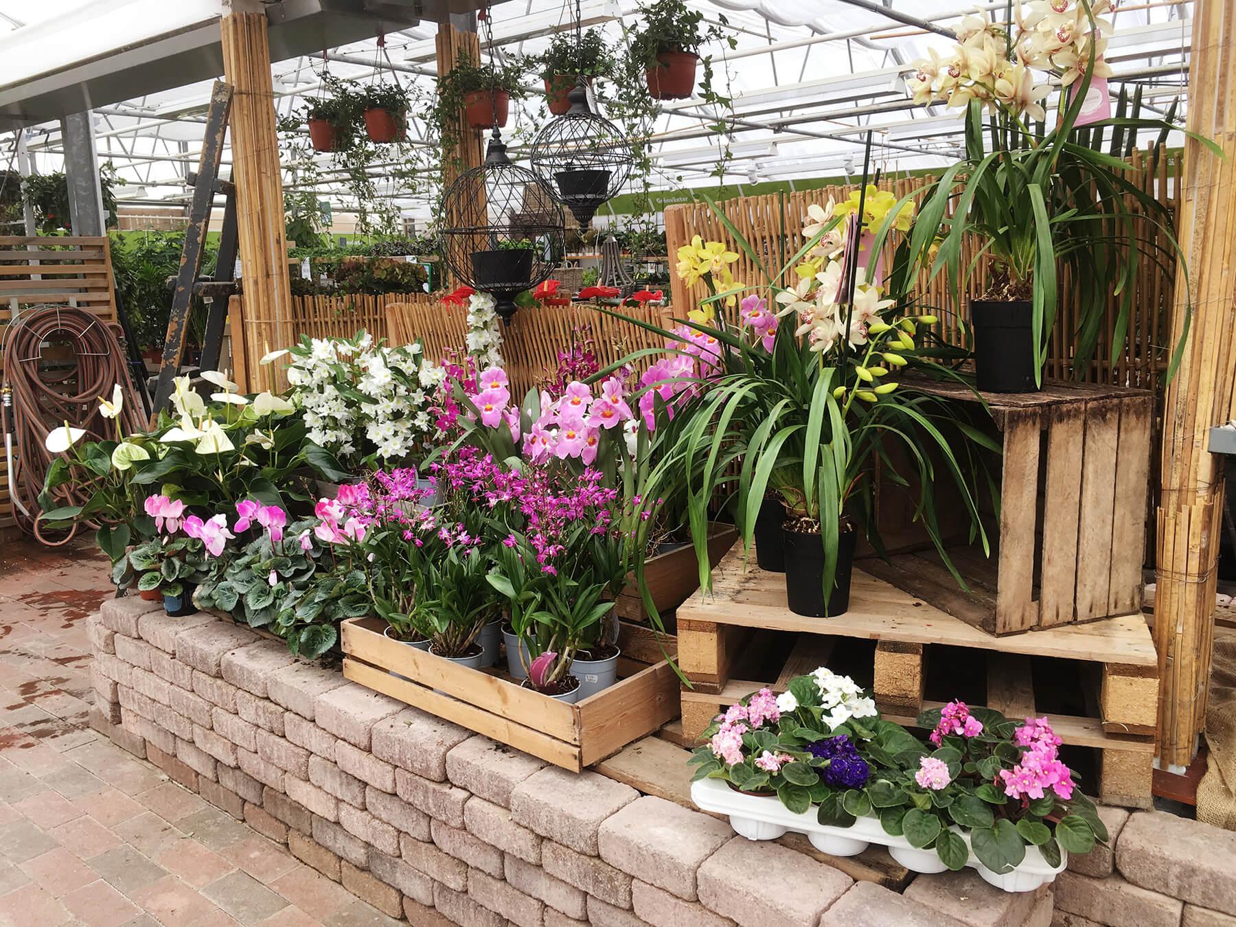 Härligt prunkande blommande krukväxter. Gör ett besök på Sollidens handelsträdgård, i Hunnebostrand nära Smögen.