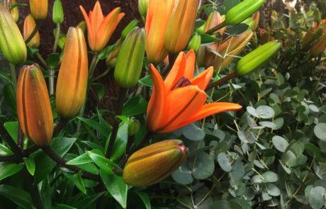 Orange lilja och silvergrön eucalyptus.