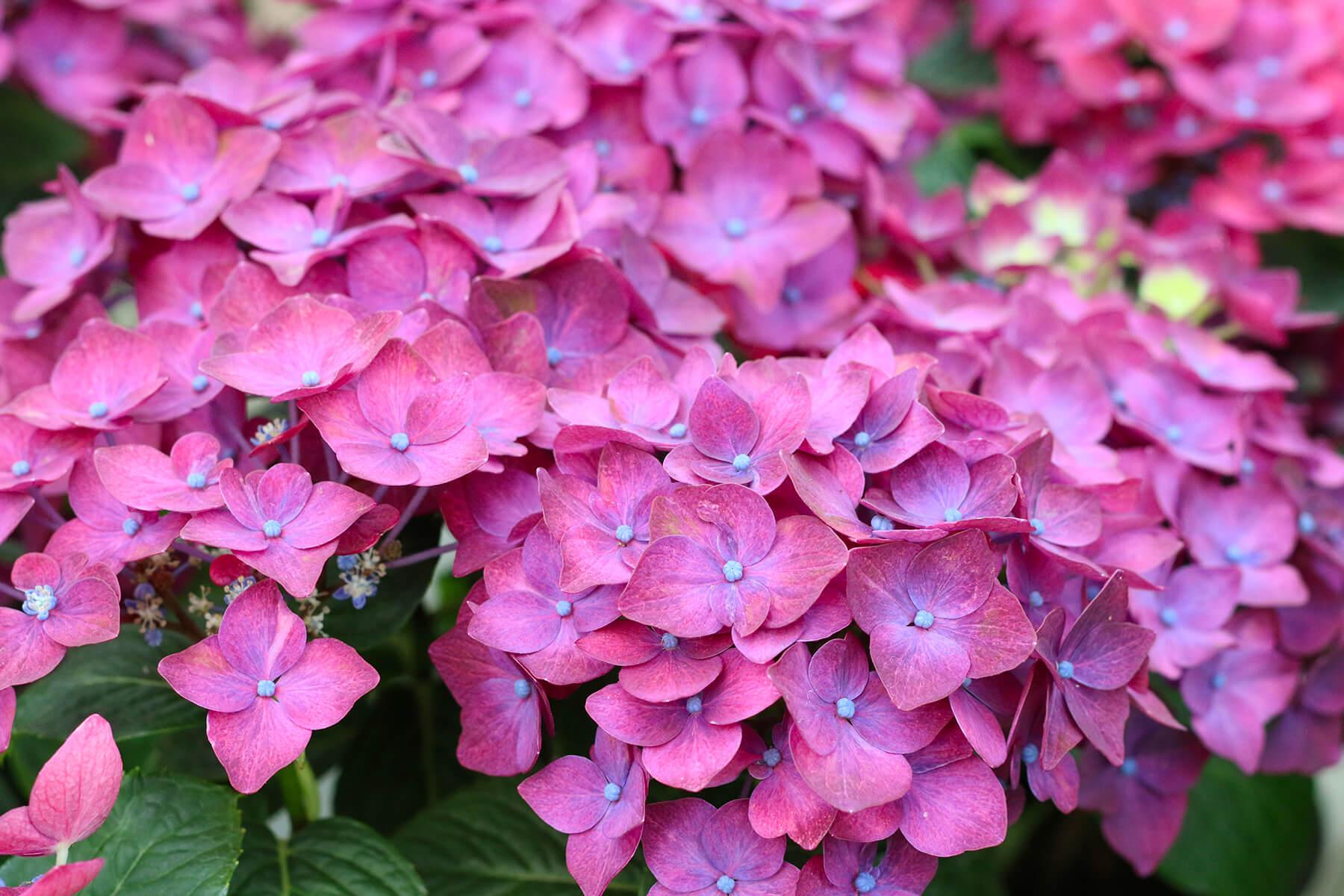 Närbild på lila hortensia.