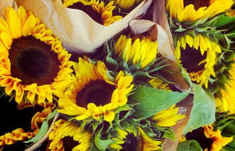Solrosen lyser med sin gula färg. Så härligt!