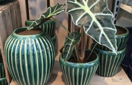 Stilrena och trendiga krukor och växter. Krukväxten heter skelettsköld och är mycket lättskött.