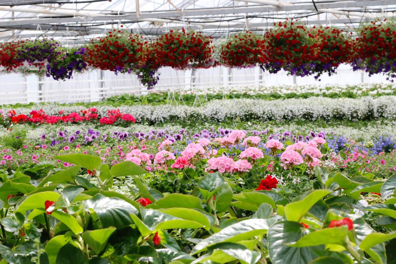 Ett välfyllt växthus på Sollidens handelsträdgård. Amplar med petunior hänger i taket, på borden står pelargoner och petunior och växer till sig.