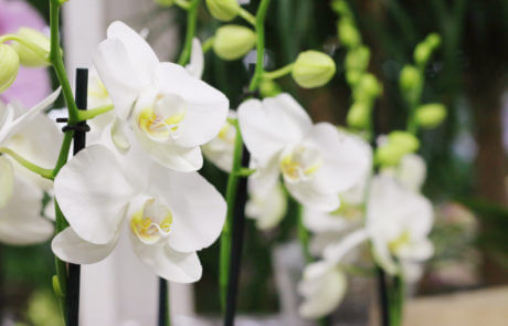 Vit brudorkidé, Phalaenopsis. Denna generösa orkidé blommar länge och kan blomma flera gånger om året. Finns i många olika färger.