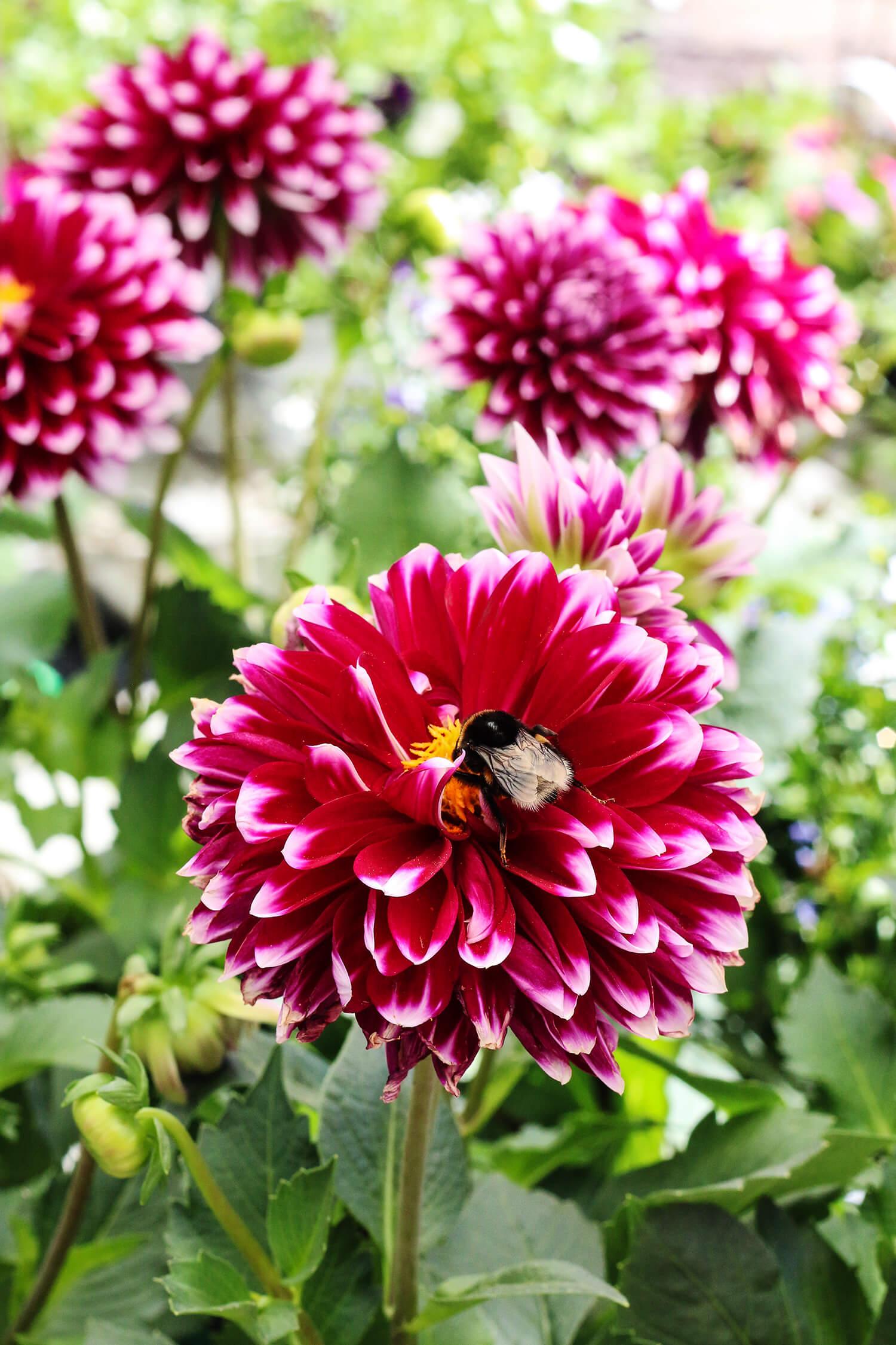 Både människor och pollinerande insekter älskar dahlior! Här har en humla hittat godsaker i mitten på en dahlia i varmt cerise. Dahlior finns i en mängd sorter och färger och är oerhört populär.