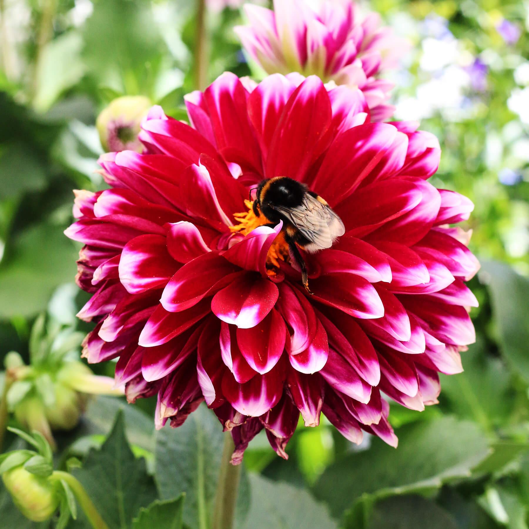 Pollineringsveckan: Både människor och pollinerande insekter älskar dahlior! Här har en humla hittat godsaker i mitten på en dahlia i varmt cerise. Dahlior finns i en mängd sorter och färger och är oerhört populär.