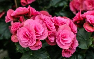 Begonia med dubbla blommor i rosa. Begonia har verkligen blivit en trendig krukväxt och det har odlats fram så många fina sorter. Roligt, tycker vi på Sollidens handelsträdgård.