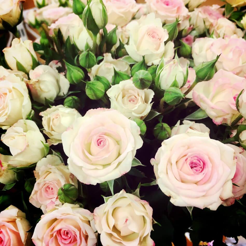 Ljusrosa kvistrosor. Varje stjälk har både utslagna rosor och några knoppar.