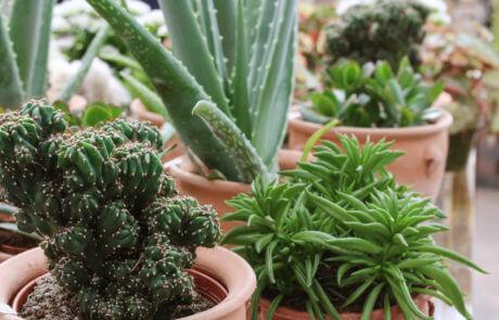 Kaktus och succulenter är tåligt, snyggt och lättskött. I terrakottakrukor blir de ett fint blickfång.