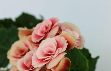 Vilka vackra färgnyanser denna begonia har! Blombladen tonas från starkt varmrosa till blekt ljusrosa. Begonia har blivit en av våra mest populära krukväxter.