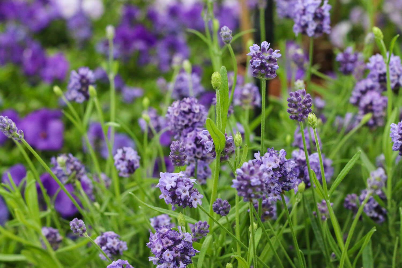 Doftande lavendel i blått. Ätbara blommor som du kan plantera i din trädgård.