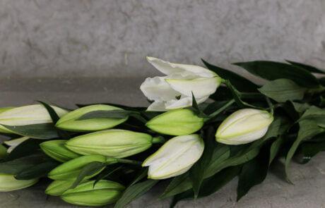 Snittblommor: Vita liljor mot grå bakgrund.