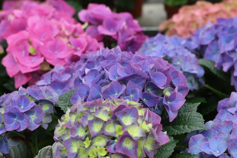 Generös blomning i lila och rosa. Hortensia finns i många vackra färger.