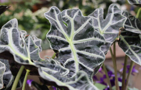 Skelettsköld / Alocasia. Denna uppseendeväckande krukväxt har ett speciellt utseende med mycket markerade bladnerver.