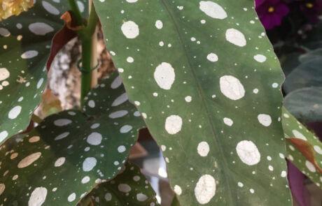 Krukväxt: Forellbegonia med de karaktäristiska prickiga bladen.