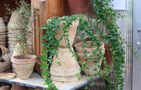 Grönt är skönt! Terrakottakrukor med murgröna och sophora, dvärgkowhai.