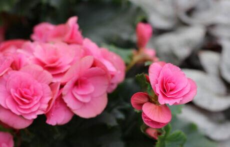 En krukväxt med stark rosa färg. Begonia har blivit en av våra mest populära krukväxter.