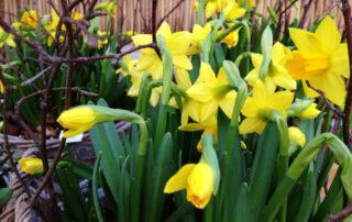 Sotenäs i påsk? Här finns vårblommor. Påsklilja i gult tillsammans med björkris.