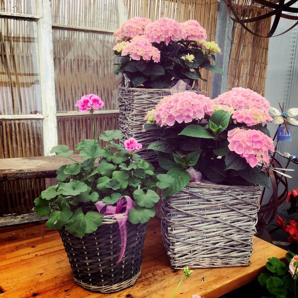 Tre romantiska planteringar med rosa blommor i korgar. Det är hortensia med stora blombollar, samt en knoppig pelargon.