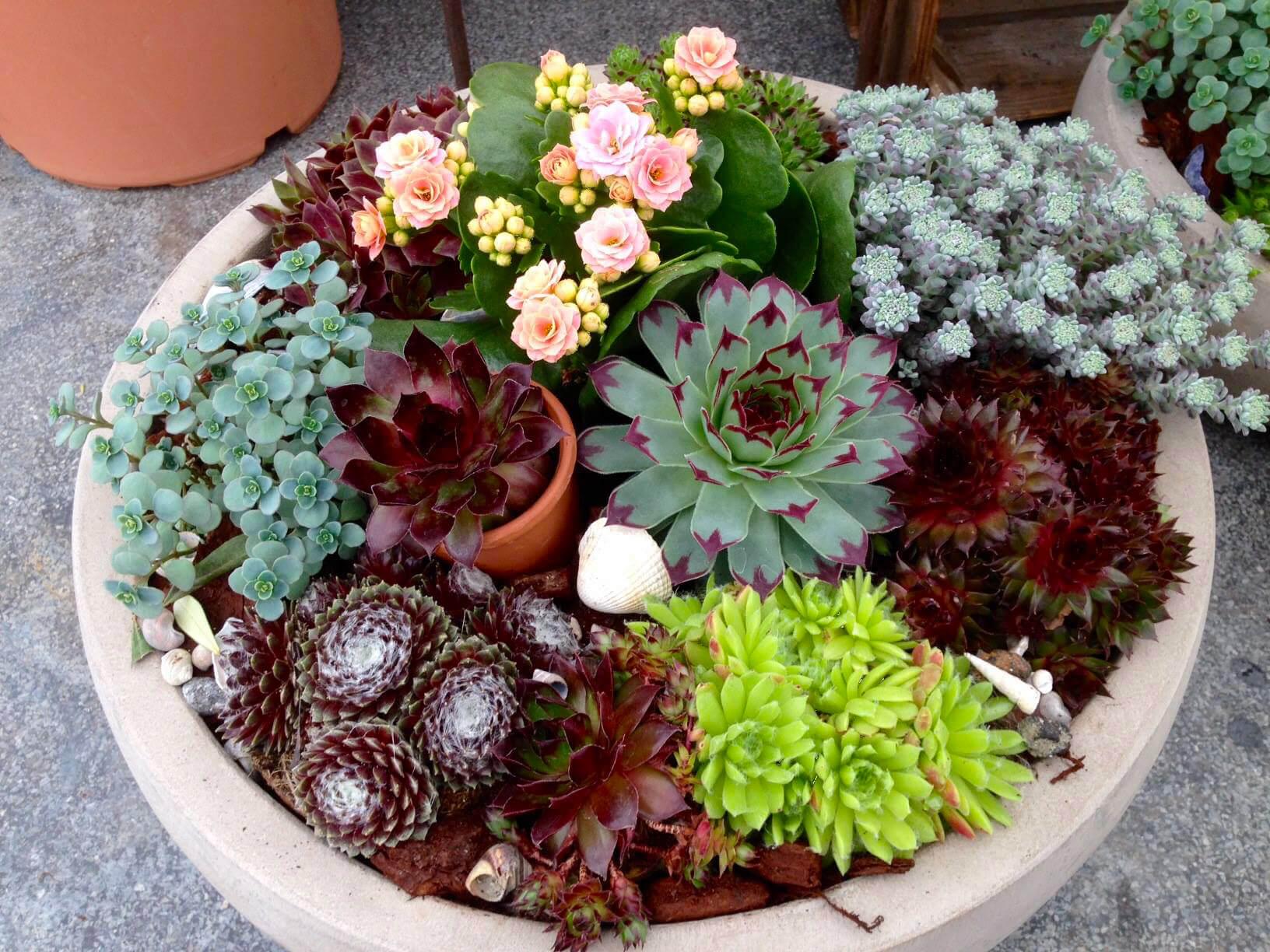 Här är en plantering som kommer att vara fin länge. Alla dessa växter har tjocka blad och tål torka bra. Det är taklökar i grönt, rött och lime samt en calandiva i rosa. Allt är planterat i en låg betongskål.
