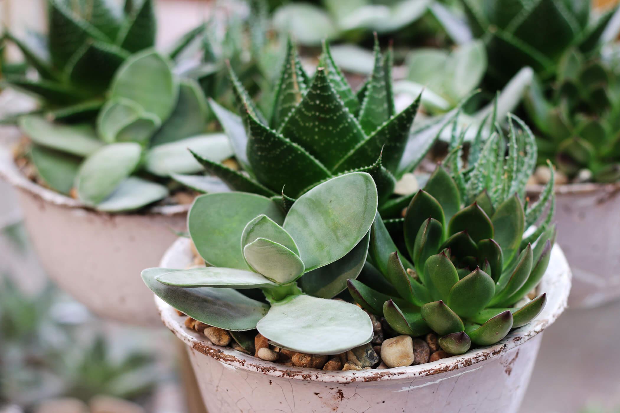 Riktigt torktålig och lättskött är en sådan här plantering. Succulenterna har tjocka blad och ska därför vattnas sällan.