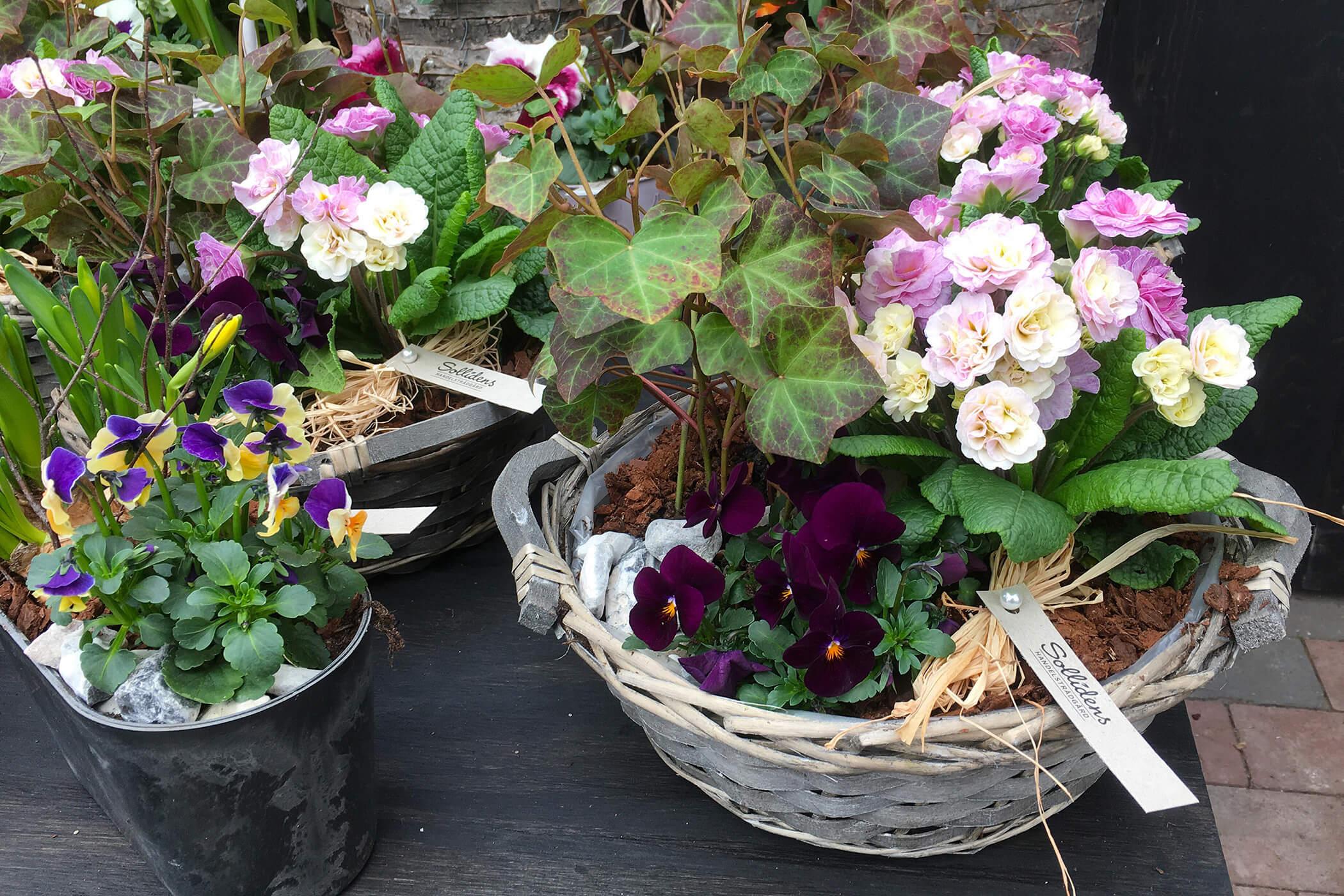Plantering med vårblommor i lila och rosa: Pensé Murgröna Primula