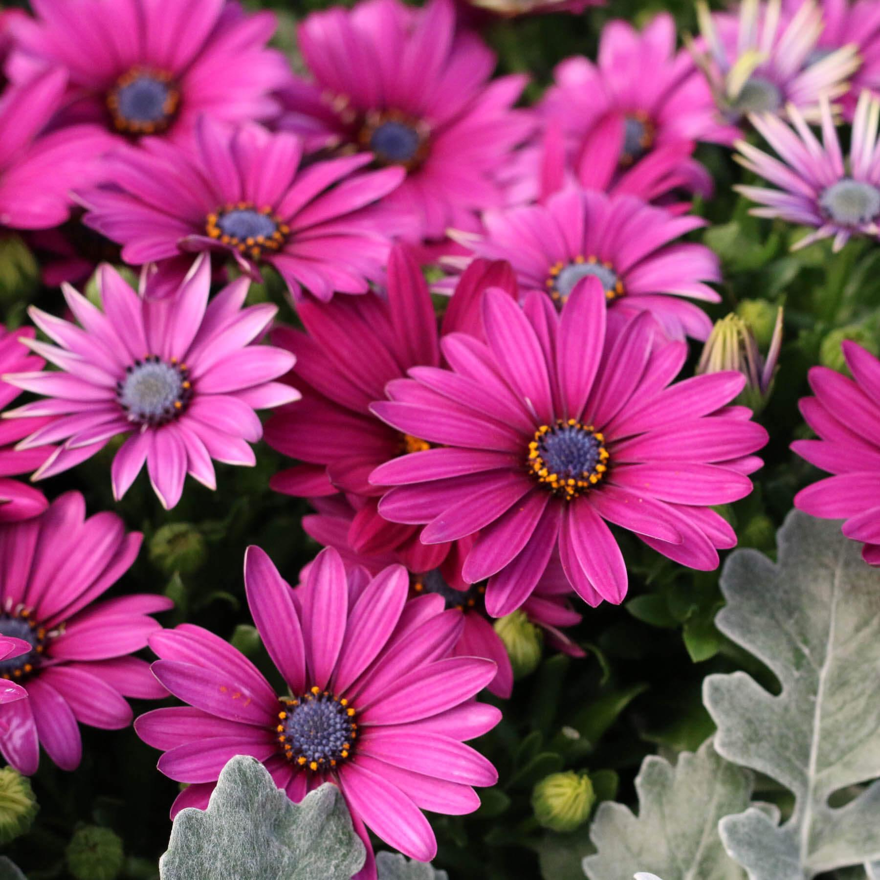 Trädgårdsväxter, sommarblommor: Stjärnöga