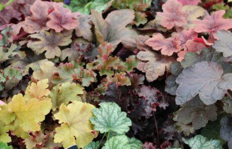 Trädgårdsväxter, höstblommor, höstfägring : Alunrot, Heuchera