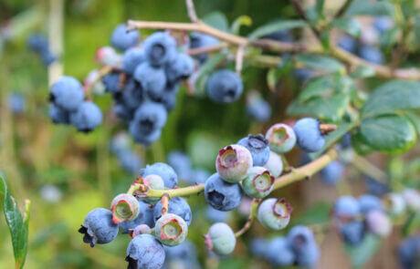 Trädgårdsväxter, Bärbuskar: Blåbär, blåbärsbuske
