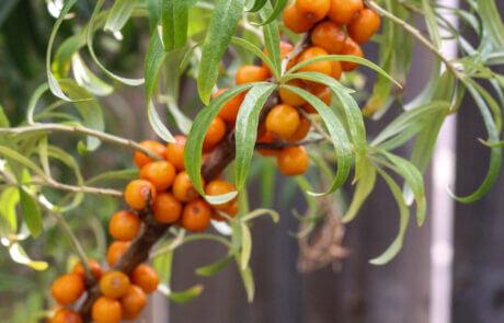 Trädgårdsväxter, Bärbuskar: Havtorn med gula bär.