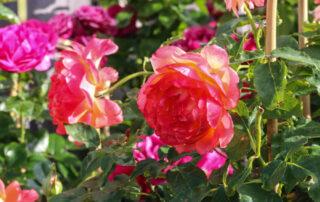 Prunkande trädgårdsrosor i rosa på Sollidens handelsträdgård i Hunnebostrand.