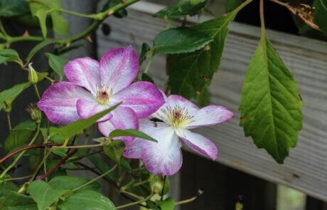 Trädgård, klätterväxter, lila och vit klematis.