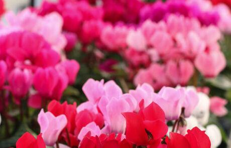 Cyklamen passar både i trädgården och som krukväxt. Den finns i många färger.