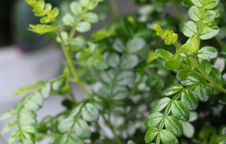 Blanka blad och en skir grönska är karaktäristiskt för sichuanpeppar.