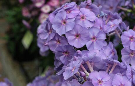 Gammaldags trädgårdsväxter, perenner lila Phlox.