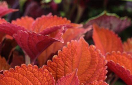 Populär krukväxt: palettblad.