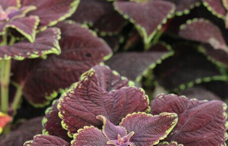 Populär krukväxt: palettblad