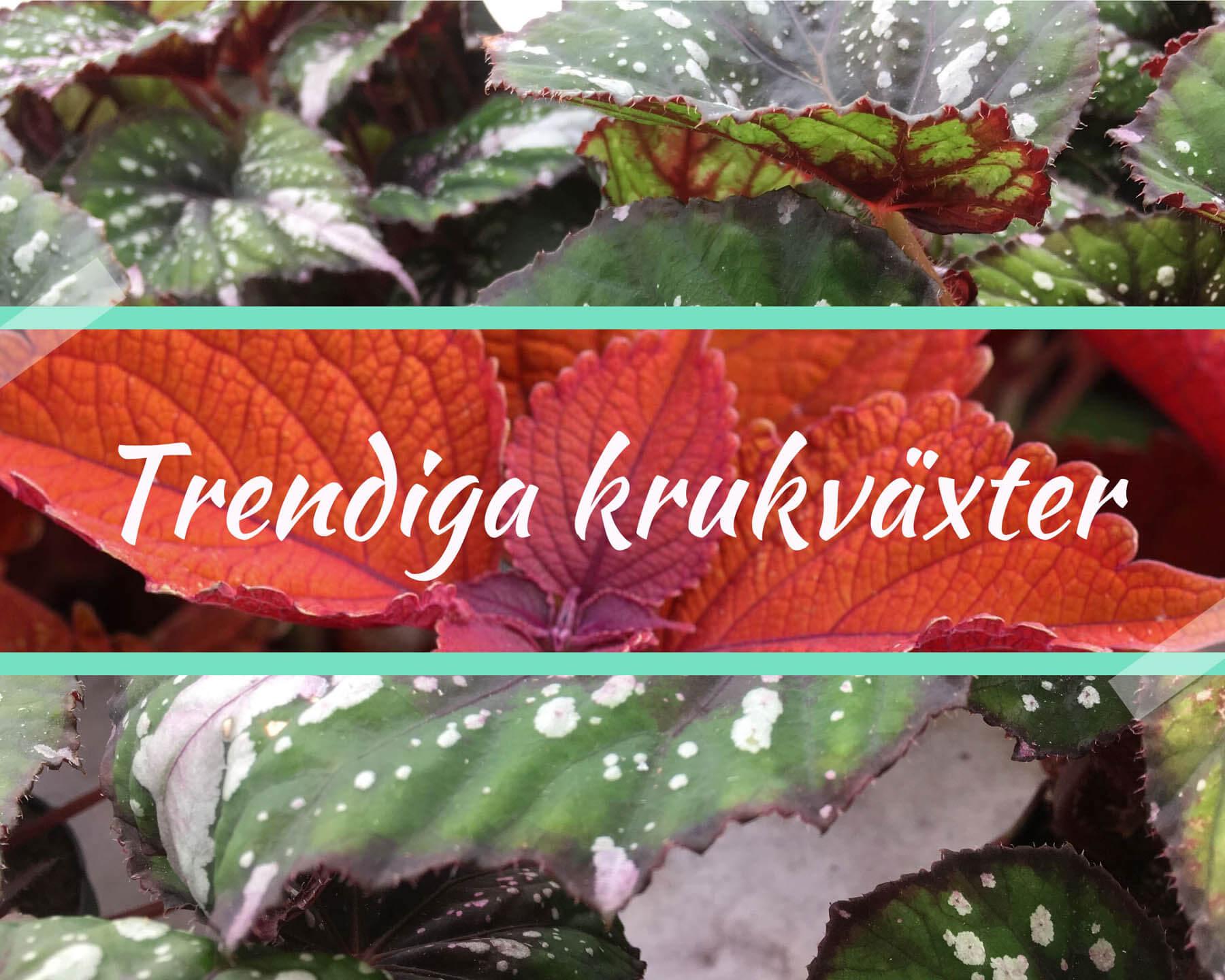 Trendiga krukväxter, Rexbegonia, Palettblad.