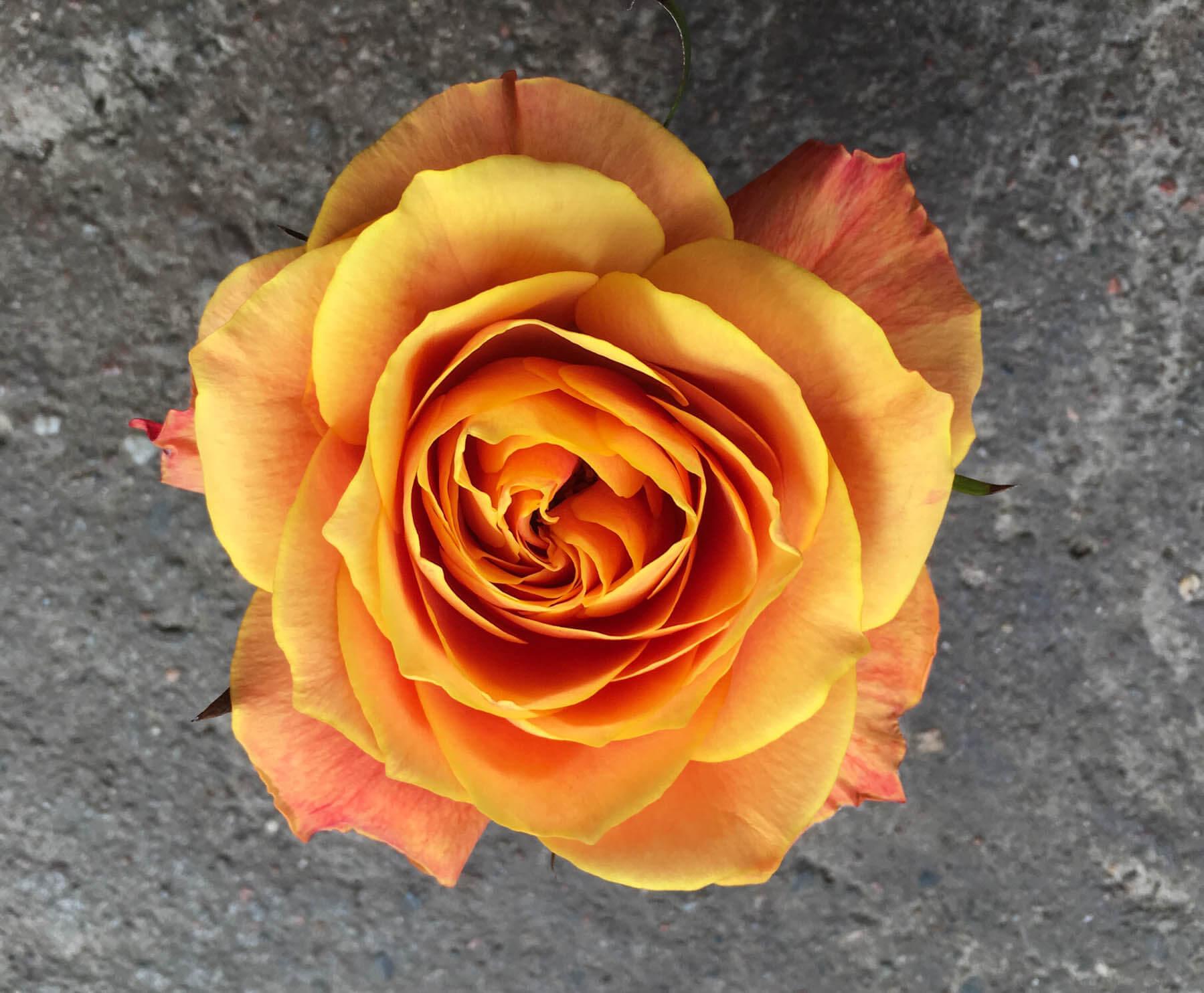 En varmgul ros