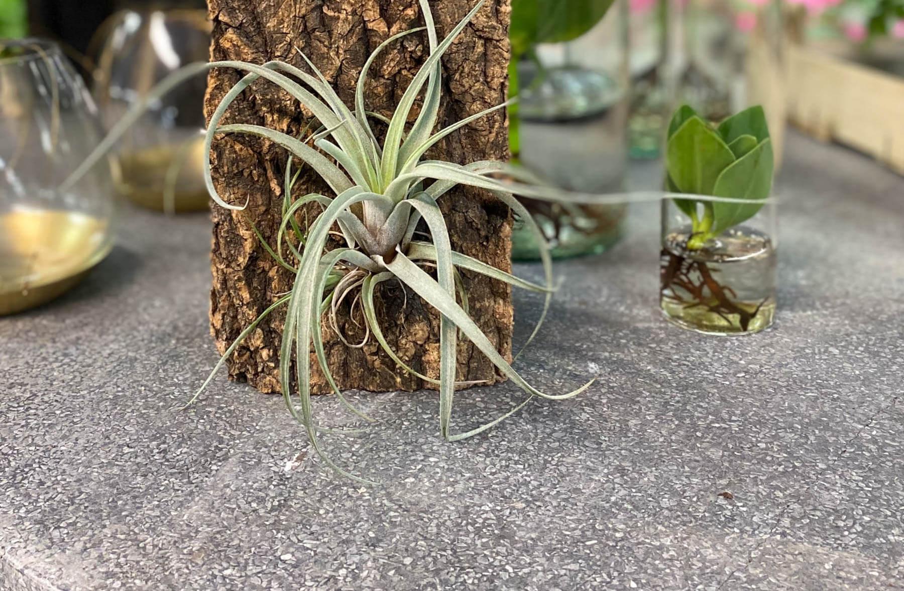 En tillandsia växer utan jord, den sitter bara fast på en barkbit. Odla utan jord.