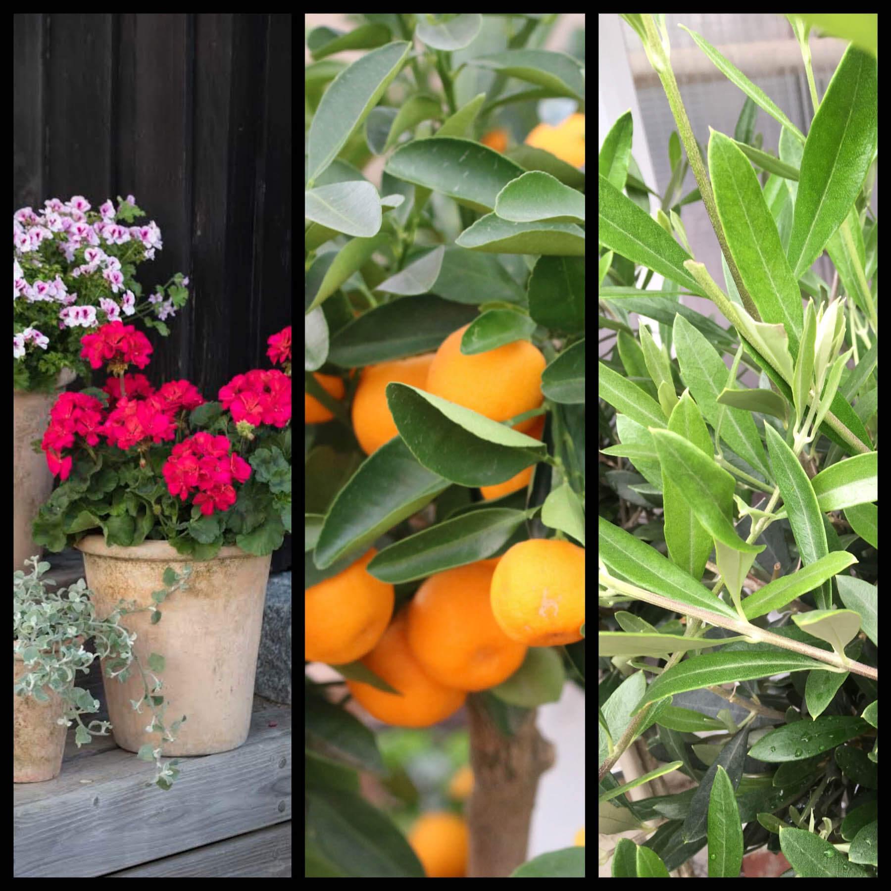 Cerise pelargoner i lerkruka, dignande citrusfrukter från trädet och olivträd med rasslande blad.