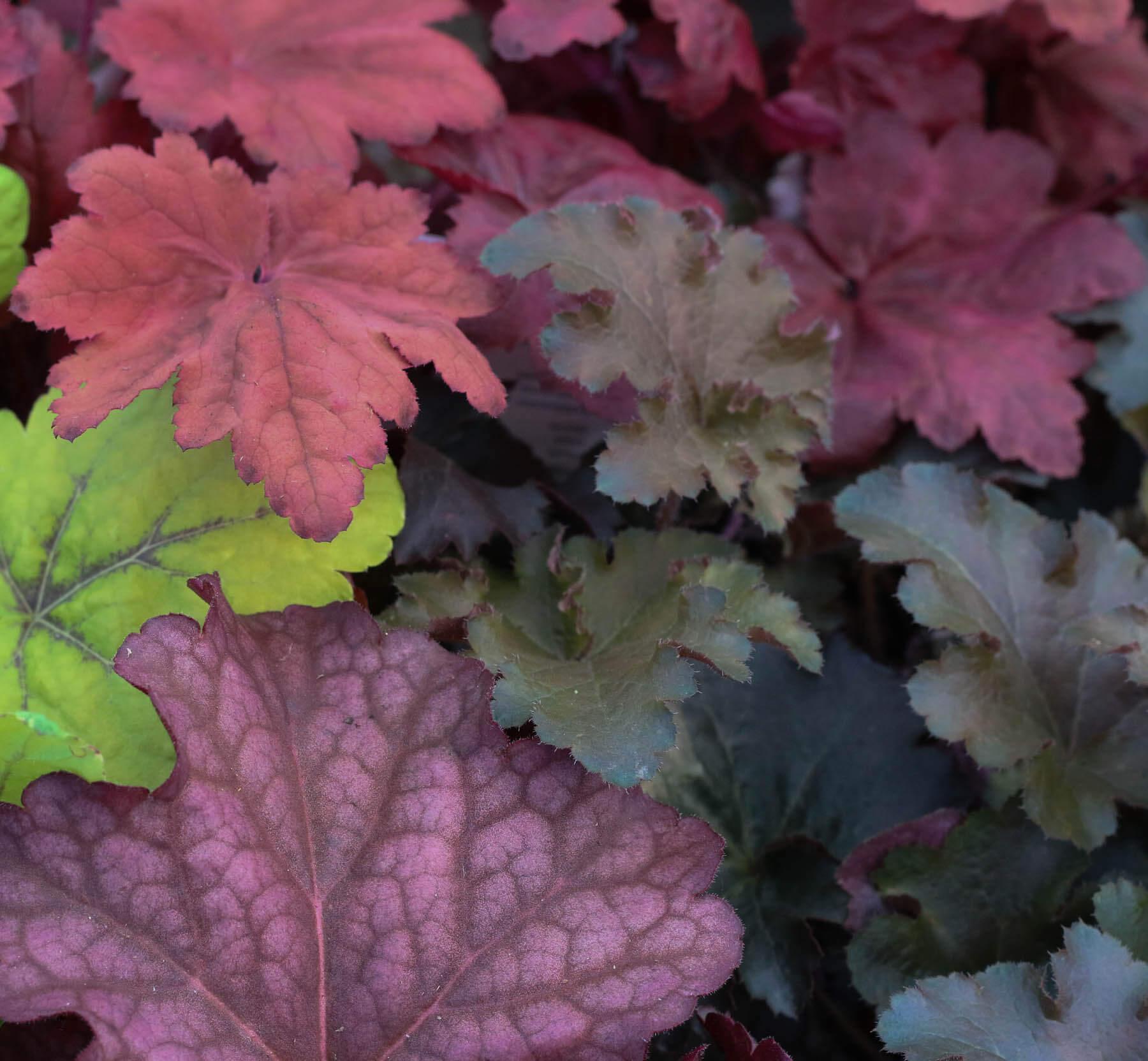 Alunrotens dekorativa blad bildar en fin bas i trädgårdens färgpalett. Det är en perenn växt, så den kommer tillbaka år efter år.
