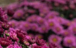 Med starkt lysande färg bjuder bollkrysantemum på mycket blomsterglädje om hösten.