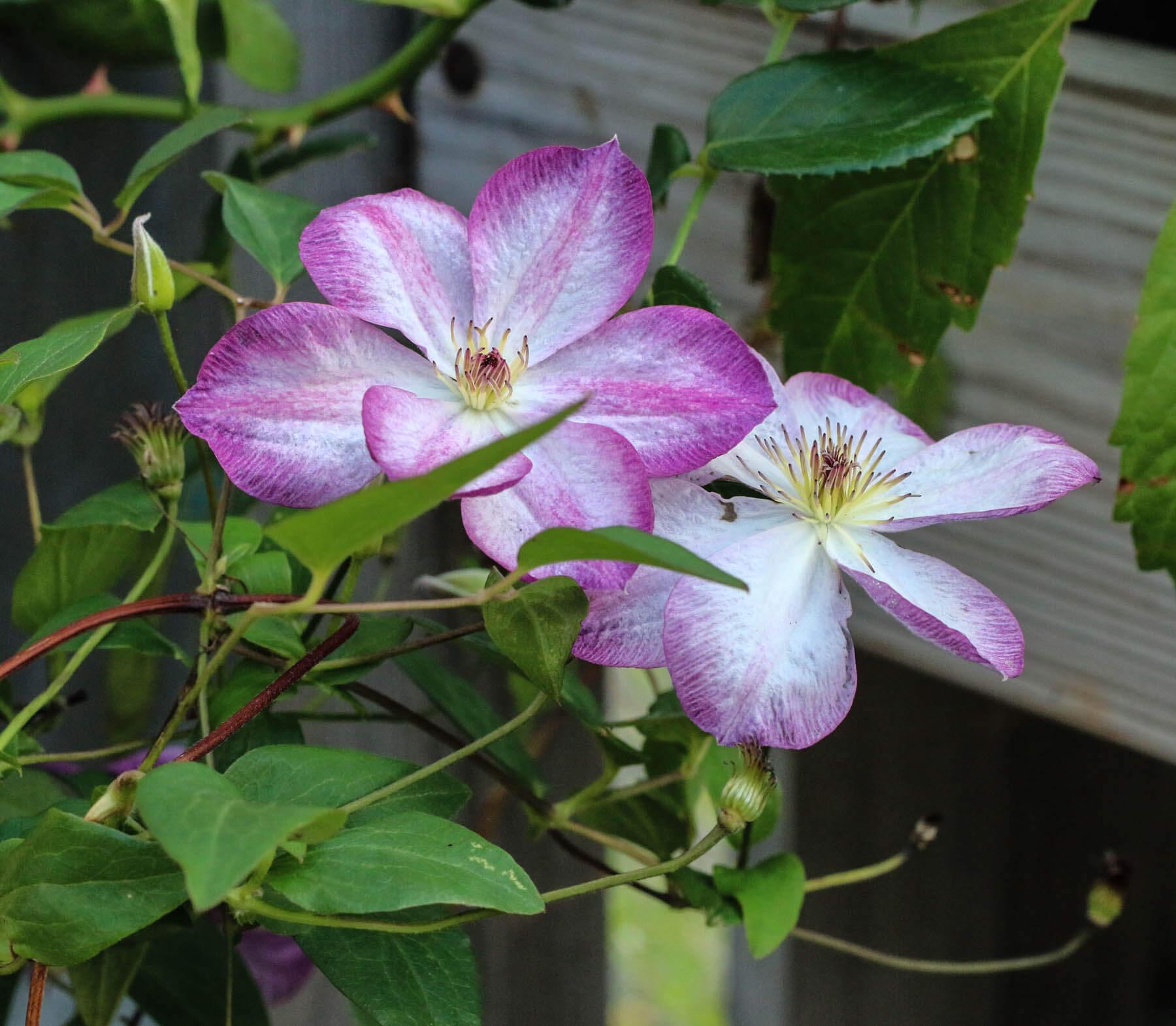 En klematis med skira lilavita blommor klättrar uppför staketet..