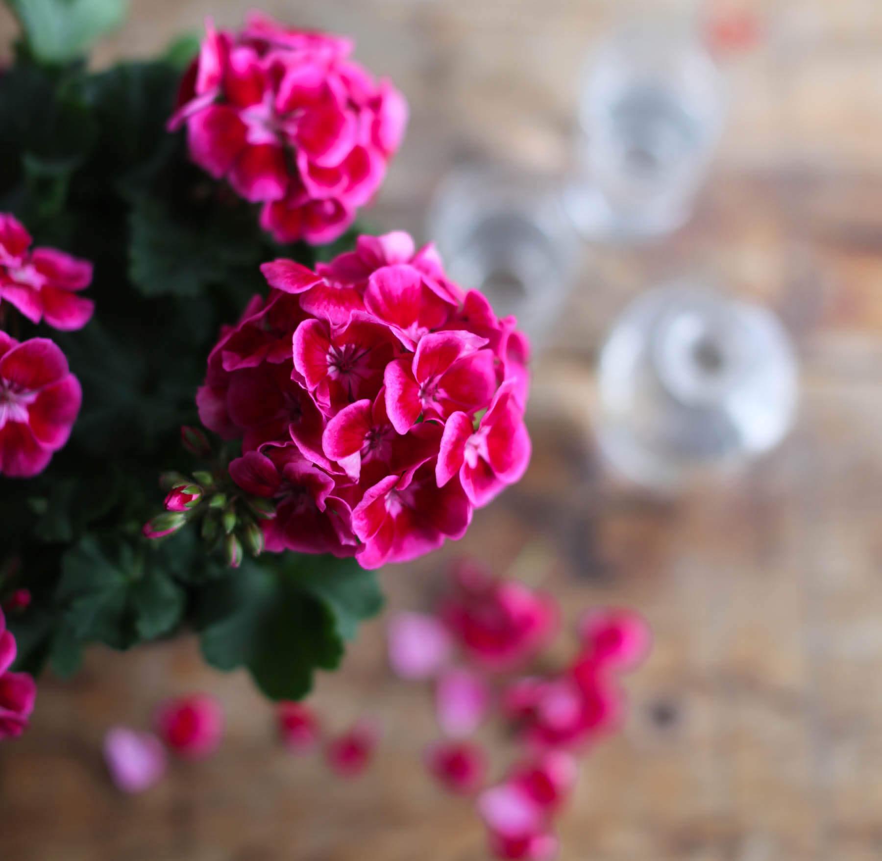 Årets pelargon 2020 är starkt cerise och röd. Den heter Tango Deep Rose With Eye.