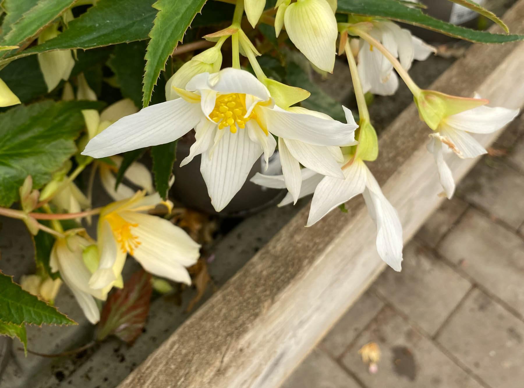 Boliviabegonia Summerwings