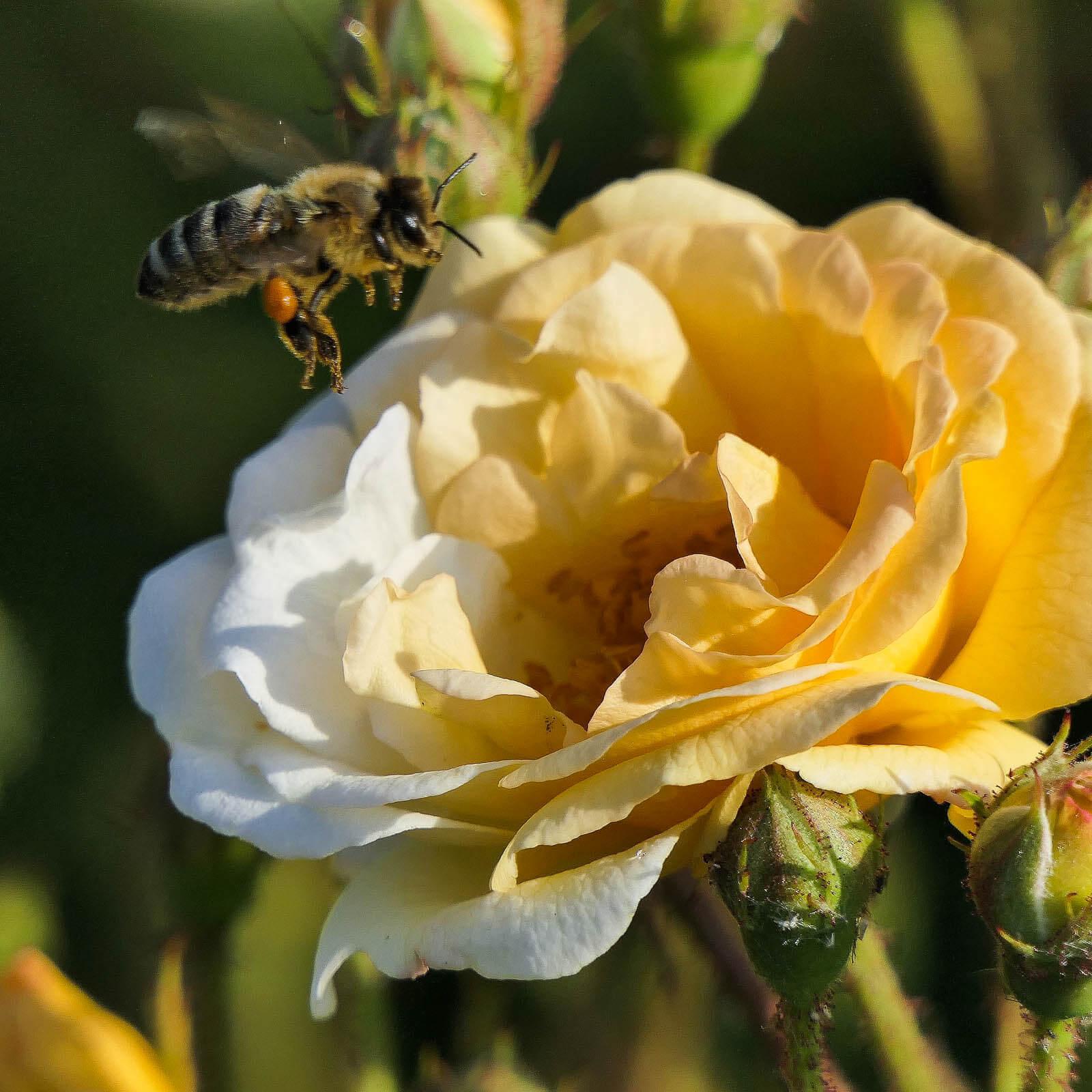 Rädda bina - Pollinerande insekt på väg att landa på gul ros